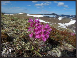 May31st_021_EagleSummit_PedicularisLanataRC