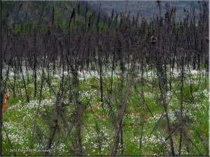 Jun08_03_Cottongrass_OldBurnArea_RC