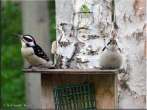 Jun21_18_WoodpeckersAtHome_RC