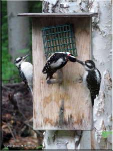 Jun21_37_WoodpeckersAtHome_RC