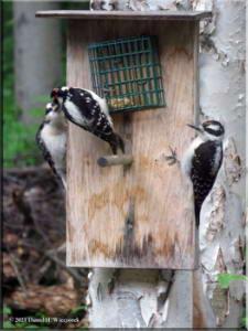 Jun21_41_WoodpeckersAtHome_RC