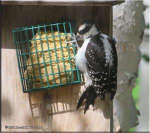 Jun25_69_Woodpecker_RC