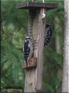 Jun25_78_Woodpecker_RC
