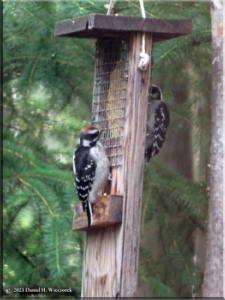 Jun25_79_Woodpecker_RC