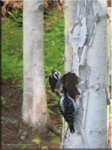June12th_006_Home_HairyWoodpeckers_RC