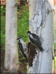 June12th_014_Home_HairyWoodpeckers_RC