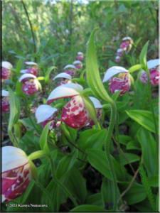 June15th_013_GrapefruitRocks_CypripediumGuttatum_RC