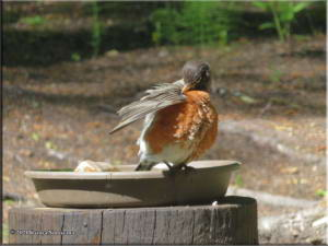 June7th_013_Home_Robin_RC