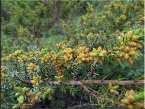 June8th_062_ElliottHWYMP57_JuniperusCommunisVarDepressa_RC