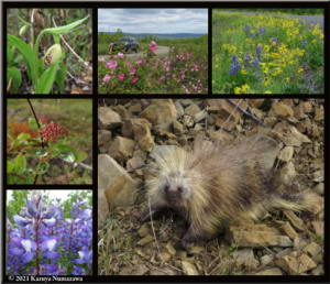 June9th2021_PorcupineCollage01_RC