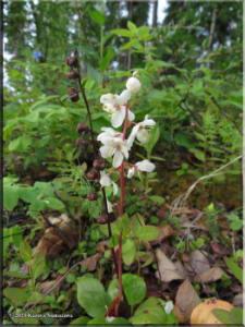 June9th_062_Minto_PyrolaGrandiflora_RC