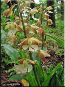 Jindai_Orchid03RC.jpg