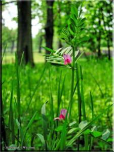 NogawaPkApr29_PeaFamily01RC.jpg
