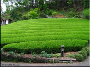 May03_JinbaSanDescent_TeaPlantation01RC.jpg