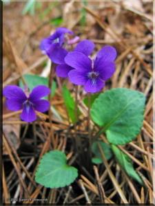 May03_JinbaSan_Viola_phalacrocarpa01RC.jpg