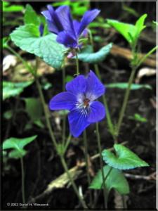 May04_Kori_Viola_grypoceras_BLUE01aRC.jpg