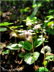 May05Takao_Viola_maximowicziana09aRC.jpg
