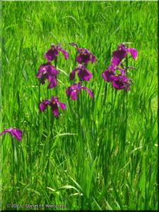 May26_JindaiAquaticPark_Iris06RC.jpg