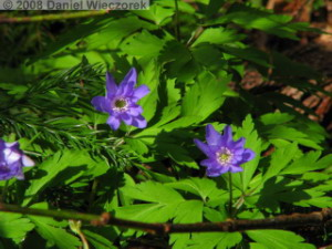 May03_Waterfall_Anemone_sp02RC.jpg