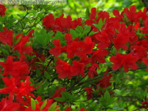 May22_Hinode_Azalea01RC.jpg
