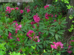 May22_Hinode_Rhododendron02RC.jpg