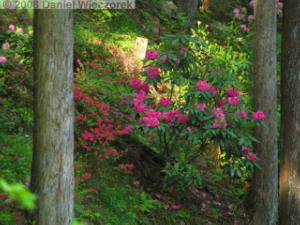 May22_Hinode_Rhododendron10RC.jpg