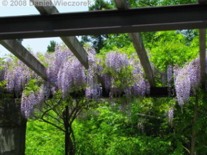 May22_Mitake_Wisteria02RC.jpg