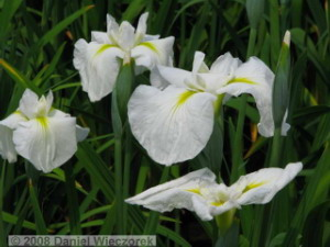 May24_Horikiri_IrisGarden_Iris11RC.jpg