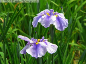 May24_Horikiri_IrisGarden_Iris13RC.jpg