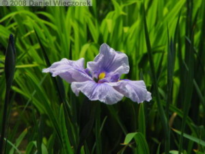 May24_Horikiri_IrisGarden_Iris23RC.jpg