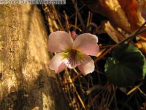 May01_KawaguchiLk021_Viola_variegata_var_nipponicaRC.jpg