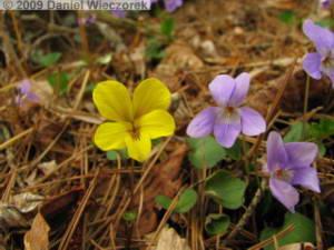 May01_KawaguchiLk150_Viola_orientalis_grypocerasRC.jpg