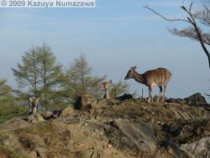 May15_KamosawaMtKumotori134_DeerRC.jpg