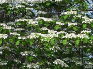May15_MtKumotoriClimb044_Viburnum_spRC.jpg