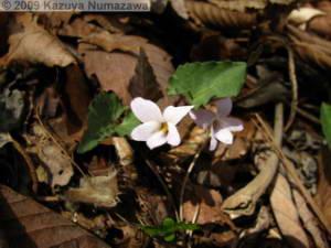 May1st_LakeKawaguchi093_Viola_yazawanaRC.jpg