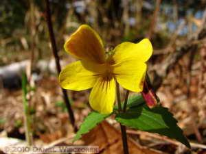 Apr29_AsigiriKogen066_Viola_orientalisRC
