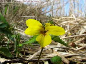 Apr29_AsigiriKogen082_Viola_orientalisRC