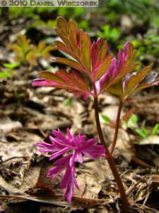 May02_Funagata_068_Red_Leaved_PlantRC