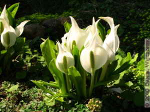 May03_Funagata_024_Lysichiton_camtschatcenseRC
