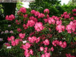 May08_JindaiBG_032_RhododendronRC