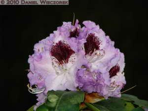 May08_JindaiBG_049_Rhododendron_BluePeterRC