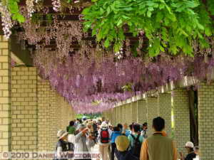 May08_JindaiBG_082_WisteriaRC