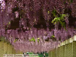 May08_JindaiBG_090_WisteriaRC