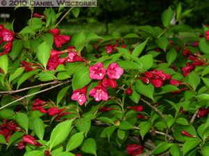 May14_NogawaPk_50_RedFlowerBushRC