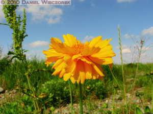 May16_TamaRiverBirdPlace_24TM_YellowFlowerRC