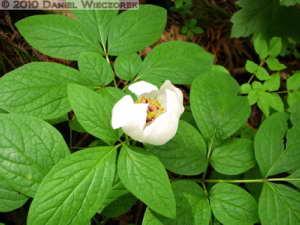 May22_Mitake_Ohtake_085_Paeonia_japonicaRC