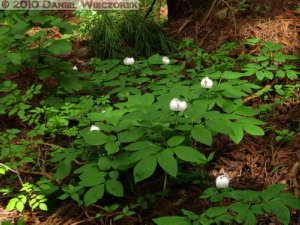 May22_Mitake_Ohtake_108_Paeonia_japonicaRC