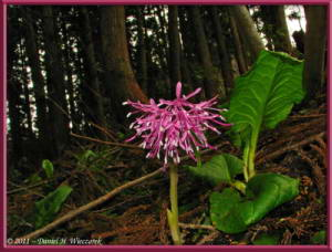 May05_058_Funagata_Heloniopsis_orientalisRC