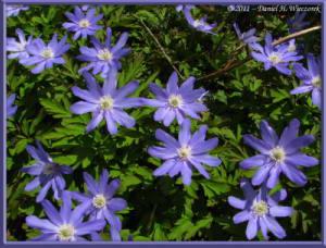 May05_152_Funagata_Anemone_pseudoaltaicaRC