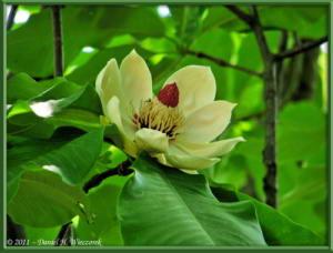 May14_01_JindaiBG_MagnoliaRC